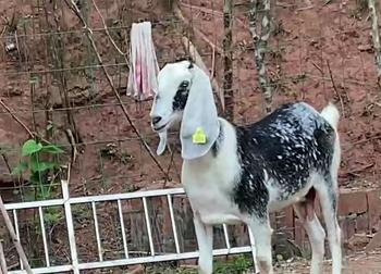 育种黑山羊千阳饲养场动物性饲料的特点