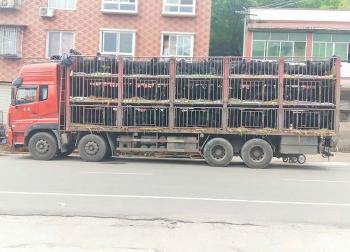 运往贵州某地的黑山羊