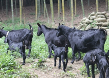 基地-优质黑山羊