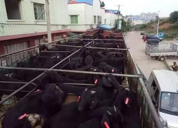 重庆黎女士购买的黑山羊正在配送中