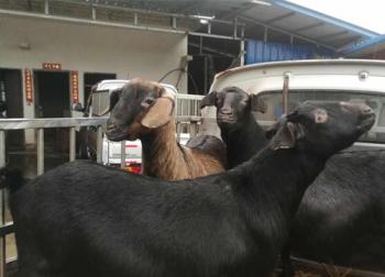 从金堂运往各地的黑山羊